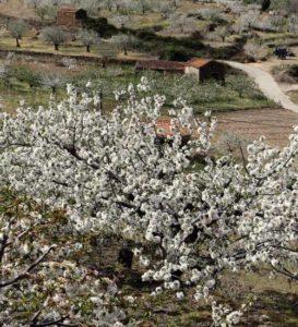 Mandelblüte Tramuntana